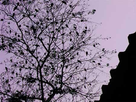 birds at dawn, Amritapuri