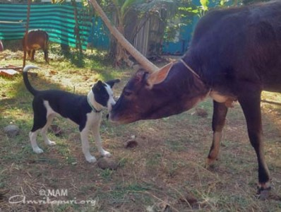 Making friends with an ashram cow
